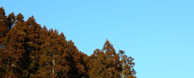 小国杉とスギ花粉